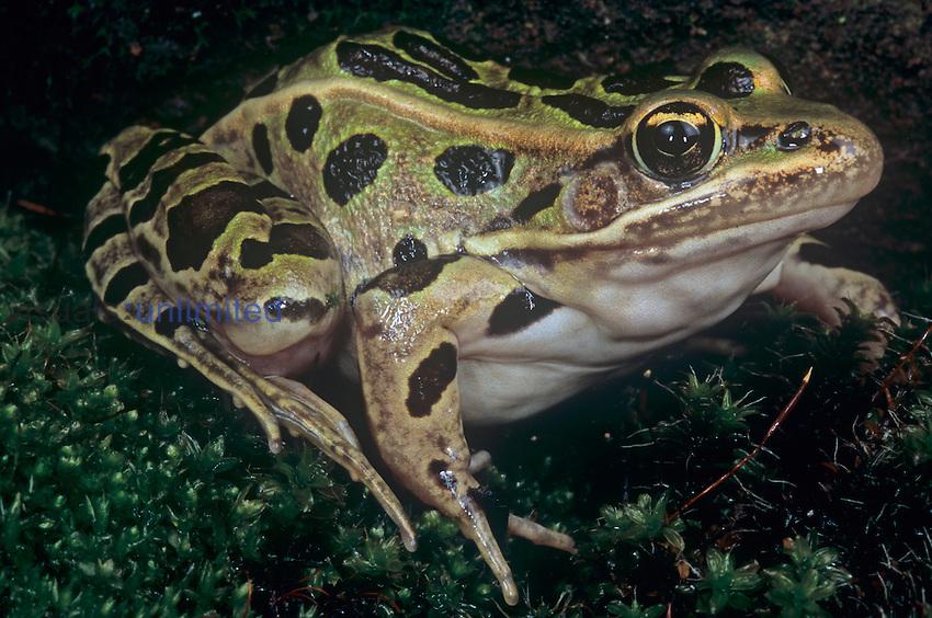 Northern Leopard Frog (Rana pipiens), North America.