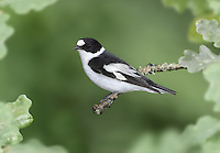 Collared Flycatcher - Ficedula albicollis