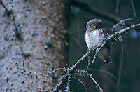 Eurasian Pygmy-Owl, Glaucidium passerinum, young, Oberaegeri, Switzerland, August 1994