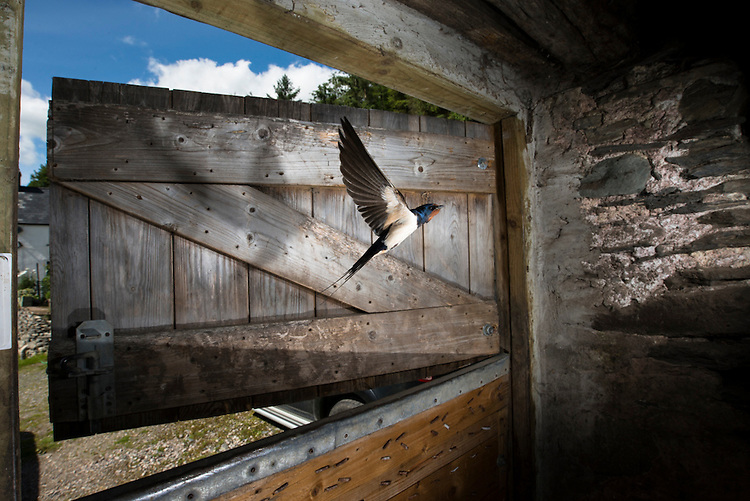 A Barn swallow flying in through a stable door. The bird was frozen using a short bust of flash with the camera being fired by remote control. Near Corwen, north Wales.