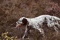 Europe/France/Limousin/23/Creuse/Plateau de Millevaches: Chasse sur le plateau - Chien de chasse setter anglais ou laverak