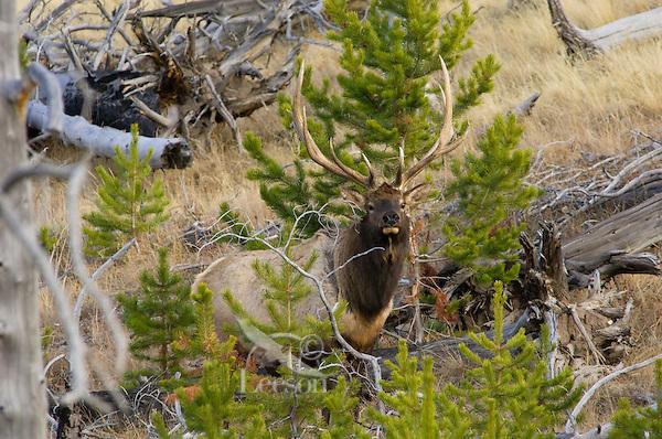 Rocky Mountain Bull Elk (Cervus elaphus), Western U.S., fall.