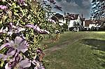 clematis in english garden