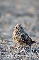 01113-01207 Short-eared Owl (Asio flammeus) on ground near Prairie Ridge State Natural Area, Marion Co., IL