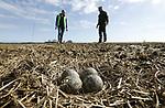 Foto: VidiPhoto<br /> <br /> LIERDERHOLTHUIS &ndash; De twee &lsquo;vogeltjeboeren&rsquo; Marcel Strijtveen (l) en Bertwin Elshof uit Lierderholthuis bij Zwolle bekijken dinsdag de versgelegde eieren in het nest van een kievit. Samen met een achttal andere melkveehouders en de Vogelbescherming beheren ze zo&rsquo;n 1200 hectare aan de landbouw onttreokken natte weidegrond in de Lierder en Molenbroekpolder, het oudste poldergebied van ons land. En met succes. In zes jaar tijd is de weidevogelstand verdubbeld. Door de toegenomen predatie van met name vos, steenmarter en das, luiden ze nu echter de noodklok. Als de overheid niet snel toestemming geeft om deze predatoren intensief te bestrijden is al het werk voor niets geweest en is de 2,6 miljoen euro extra investering van de provincie Overijssel (totaal 4,8 miljoen euro) weggegooid geld.
