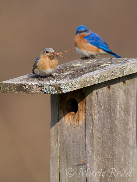 Eastern Bluebirds (Sialia sialis) pair at nestbox, female carrying nest material (mostly pine needles), New York, USA