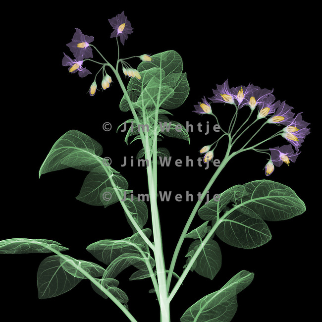 X-ray image of a potato plant top (color on black) by Jim Wehtje, specialist in x-ray art and design images.