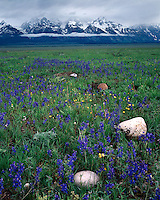 Field of Nelson Larkspur (Delphinium nelsonii) on Antelope Flats below the Teton Range; Grand Teton National Park, WY