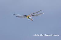 06361-00803 Common Green Darner (Anax junius) in flight Marion Co. IL