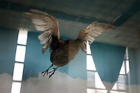A stuffed bird on display in a museum at the Zhalong Wetlands, Heilongjiang Province. China. 2011