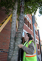 NWA Democrat-Gazette/DAVID GOTTSCHALK Jake Rogers, with the city of Fayetteville Parks and Recreation Department, begins Monday, October 7, 2019, a red and white candy cane pattern of lights on one of the trees on the downtown square in Fayetteville. More that 450,000 light emitting diodes will be strung for the annual Light of the Ozarks that begins November 22 and runs through December 31.