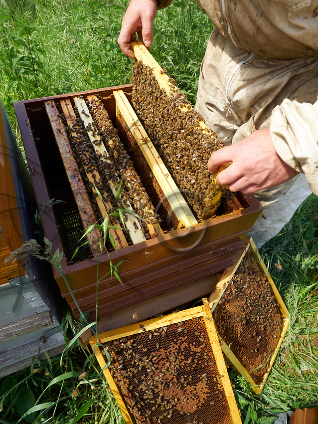 Inspection of the hives during the production of honey in Annecy.<br /> Inspection des ruches pendant la production de miel &agrave; Annecy.