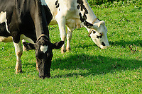 Holstein dairy cows grazing in a field, St Ewe, St. Austell,  Cornwall..Copyright..John Eveson, Dinkling Green Farm, Whitewell, Clitheroe, Lancashire. BB7 3BN.01995 61280. 07973 482705.j.r.eveson@btinternet.com.www.johneveson.com