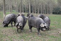 - breeding of pigs in half-freddom at the agricultural company Spigaroli<br /> <br /> - allevamento di maiali in semi-libert&agrave;&nbsp; presso l'azienda agricola Spigaroli