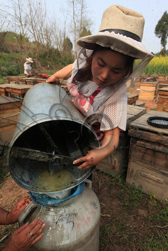 The honey is harvested as it is produced, the frames of honey combs being emptied by manual extractors.