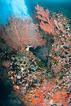Misool, Raja Ampat, Indonesia; Daram area, large red gorgonian sea fans and sea rods growing out of a coral wall