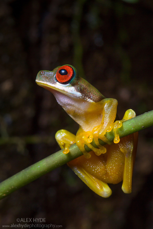 Rufous-eyed Brook Frog {Duellmanohyla rufioculis} Central Caribbean foothills, Costa Rica. May.
