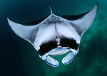 Mantas (Manta birostis) predictably found feeding in Hanifaru Bay between month of July to November.