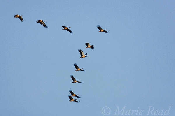 Magpie Geese (Anseranas semipalmata) flock in flight, in V-formation, Yellow Water, Kakadu National Park, Northern Territory, Australia.