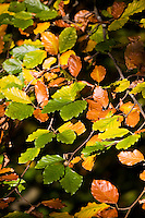 Beech leaves turning from green to brown, Aira Beck, Lake District, England,  United Kingdom