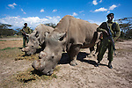Northern white rhino (Ceratotherium simum cottoni) cow called Najin(left) with Suni the bull (died October 2014), watched over by armed guard, Ol Pejeta Conservancy, Laikipia, Kenya, Africa, September 2012