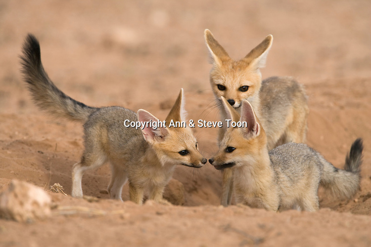Silver (Cape) fox family, Vulpes chama, at den, Kgalagadi Transfrontier Park, Northern Cape, South Africa
