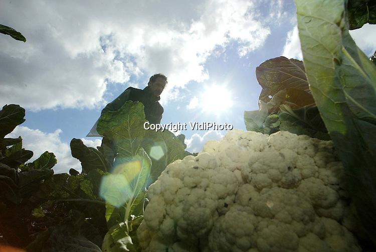 Foto: VidiPhoto..HIEN - Op het grootste bloemkoolveld van Midden-Nederland in Hien, selecteren onderzoekers van plantenveredelaar Seminis uit Wageningen tussen juli en november de beste en mooiste bloemkolen van Europa. Op het 9 hectare grote veld staan 7000 rassen. Met slechts enkele bloemkoolsoorten wordt later doorgekweekt omdat die kunnen uitgroeien tot een topras. De selecteurs letten daarbij op kleur, vorm en hardheid van de kool, ziekteresistentie en stabiel gedrag gedurende het seizoen. Slechts éénmaal in de tien jaar wordt een echte top-bloemkool gekweekt die goed genoeg is voor alle supermarkten.