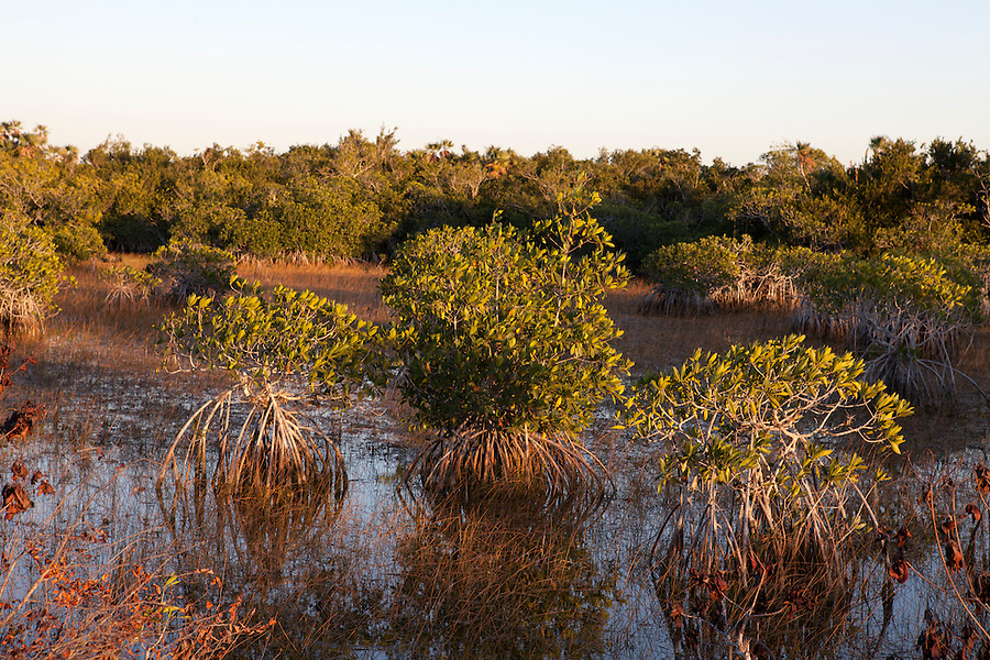 Mangroves at sunset in Everglades National Park, Florida, USA