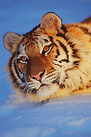 Siberian Tiger in snow.