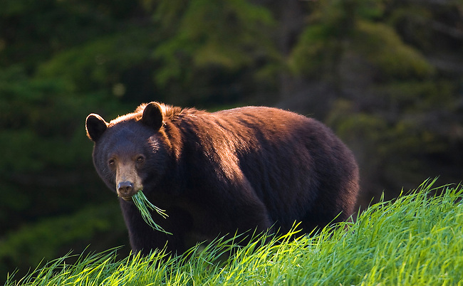A black bear feeds on grass in Callaghan Valley, British Columbia, Canada, on May 29, 2008.  Photo by Gus Curtis.