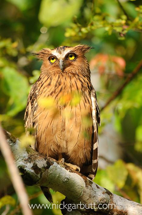 Adult Buffy-fish Owl (Ketupa ketupa) in morning sun. Kinabatangan River, Sabah, Borneo.