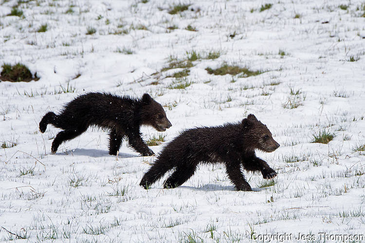 Grizzly Bear Cubs running, Yellowstone National Park