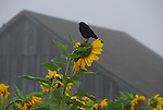 sunflower and blackbird