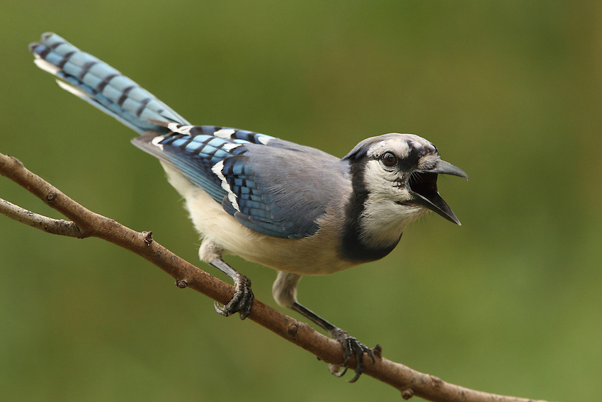 The Blue Jay frequently mimics the calls of hawks, especially the Red-shouldered Hawk.
