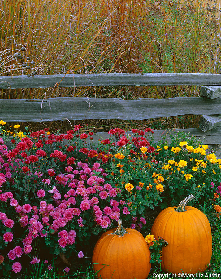 Bureau County, IL: Fall scene of native prairie grasses, pumpkins, chrysanthemums with weathered split rail fence