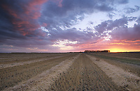 Sunset over wheat field with rows of swathed grain on near Casselton, North Dakota, AGPix_0699.