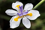 San Diego, California; African Iris (Dietes iridioides) flowers with water droplets after a rain storm, also known as the Wild Iris, Cape Iris, Fortnight Lily and Morea Iris. Dietes is a genus of rhizomatous plants of the family Iridaceae, first described as a genus in 1866. Common names include wood iris, Fortnight lily, African iris, Japanese iris and Butterfly iris, each of which may be used differently in different regions for one or more of the six species within the genus.