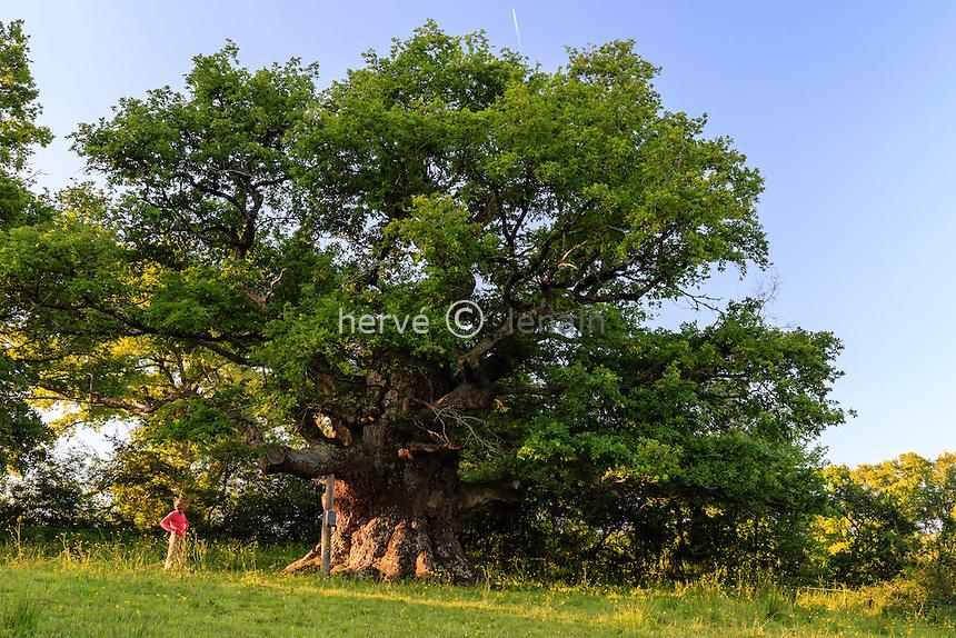 France, Indre (36), Saint-Civran, chêne remarquable de plus de 10 mètres de circonférence de tronc // France, Indre, Saint Civran, remarkable old oak