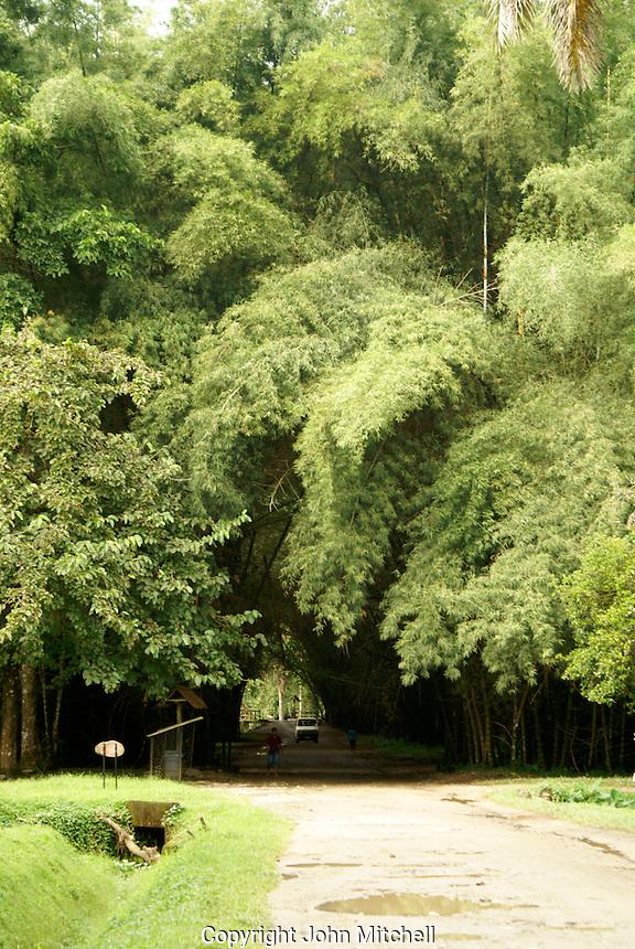 Bamboo tunnel at Lancetilla Botanical Garden, Honduras. Lancetilla Garden was established by American botanist William Popenoe in 1926.