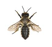 Leaf-cutter Bee - Megachile centucularis