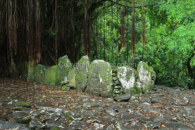 Marae Tefano, with its ahu or altar of standing stones and a giant banyan tree, at Haapiti, at the archaeological site at Maeva village, on Huahine-Nui on the island of Huahine, in the Leeward Islands, part of the Society Islands, in French Polynesia. The marae consists of a stone courtyard with platform and standing stones, used as a ceremonial and religious site. These sites were home to the royal chieftains encountered by James Cook and were abandoned c. 1800. Maeva is thought to be an abandoned royal settlement, with many megalithic structures including marae, houses, agricultural structures, stone fish traps and fortification walls. Picture by Manuel Cohen