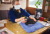 Scientists study Surf Scoters. Population research, related to the Exxon Valdez Oil Spill, Prince William Sound, Alaska