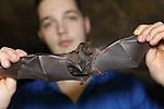 Foto: VidiPhoto<br /> <br /> ARNHEM – Een opmerkelijke stijging van het aantal vleermuizen in Burgers' Zoo in Arnhem, zo bleek woensdag bij de jaarlijkse vleermuizentelling. Bovendien zijn er voor het eerst meer vrouwtjes dan mannen. De oorzaak van dat laatste is onbekend. In totaal werden er 382 -inclusief elf jongen-  geteld in de zogenoemde vleermuizentunnel, 37 meer dan vorig jaar. Met de tientallen losvliegende vleermuizen in de Bush meegeteld komt het totaal aantal ruim over  400 stuks. Nog niet eerder waren er zoveel brilbladneusvleermuizen in de Arnhemse dierentuin. De jaarlijkse telling is een belangrijk ijkmoment om niet alleen de lichamelijke conditie van elke vleermuis te kunnen bekijken, maar vooral ook om de geslachtsverhouding binnen de groep nauwlettend te monitoren. Deze Zuid-Amerikaanse vleermuissoort leeft namelijk in haremgroepen, waarbij één man zijn vaste hangplek (territorium) deelt met enkele vrouwen. Als het percentage mannen in de groep te groot wordt, ontstaat er druk op de aanwezige vrouwen en de jongen die ze mogelijk op dat moment grootbrengen. De groeiexplosie is grotendeels te danken aan een verdere verfijning van het menu van de dieren door onder meer vleerhondennectar toe te voegen en de creatie van extra hangplekken.