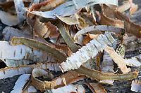 Birken-Rinde, Birkenrinde, Rinde von Birke wird getrocknet. Hänge-Birke, Sand-Birke, Birke, Hängebirke, Sandbirke, Weißbirke, Betula pendula, European White Birch, Silver Birch, warty birch, rind, bark, Le bouleau verruqueux, bouleau blanc