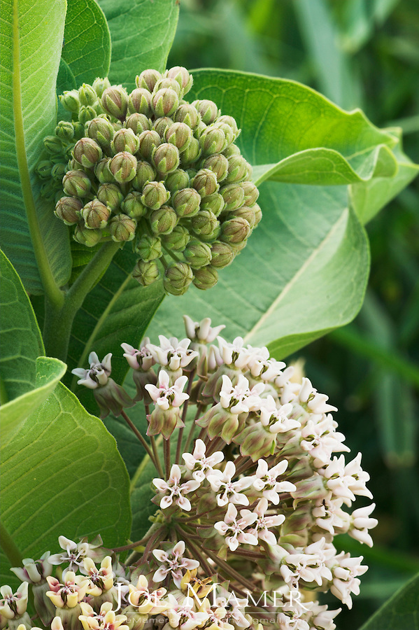 Common milkweed (Asclepias syriaca) flower and bud umbels.