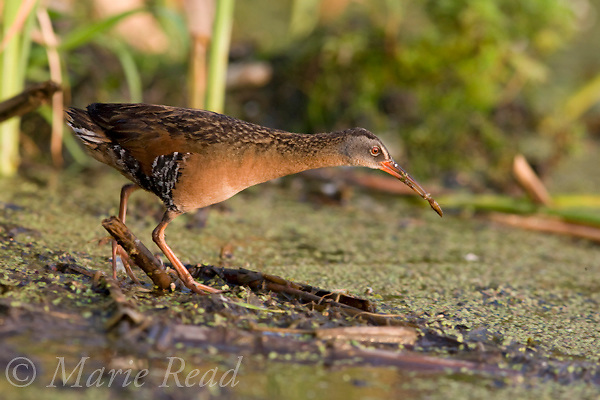 Virginia Rail (Rallus limicola), carrying food (dragonfly nymph) Perch River WMA, New York USA
