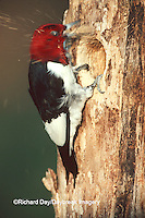 01197-02112 Red-headed Woodpecker (Melanerpes erythrocephalus) excavating nest cavity   IL
