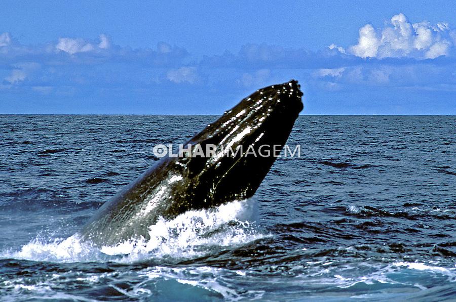 Baleia Jubarte (Megaptera novaeangliae). Abrolhos. Foto de Maristela Colucci.