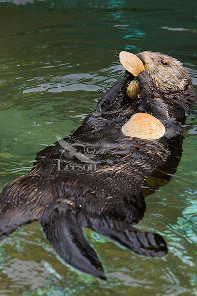 Sea Otter (Enhydra lutris).(Point Defiance Zoo & Aquarium, Tacoma, WA)
