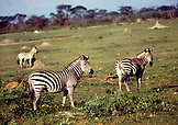 BOTSWANA, Africa, Zebras in Chobe National Park and Game Reserve